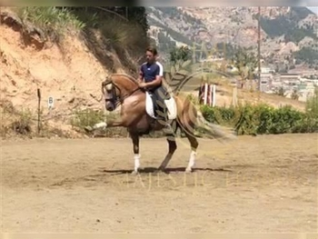 8 year-old - Lusitano - Stallion - germany