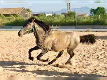 1 year-old - Andalusian - Filly