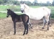 Connemara - All Rounder - Foal - 15 hh - Norfolk