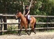 All Rounder - Filly - 16 hh - Norfolk