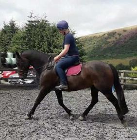 9 year-old - Irish Sport - All Rounder - Gelding - 16 hh - Powys