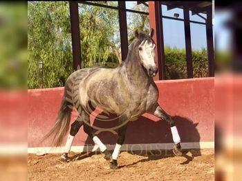 5 year-old - P.R.E. - Stallion - 1614 hh - Spain