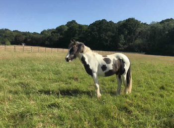Middleweight - For Adoption - Colt - 12.2 hh