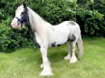 Lightweight - For Adoption - Mare - 13.2 hh - South East Yorkshire
