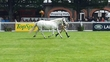 TOP CLASS CONNERMARA MARE for sale