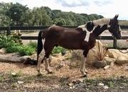 2 year-old - Cobs - Stallion - 16 hh - Norfolk