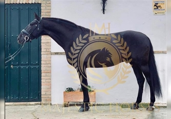 6 year-old - P.R.E. - Stallion - 1624 hh - Spain