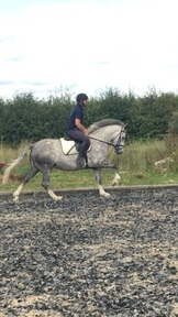 Cracking 15hh Connemara x