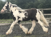 Heavy Traditional Cob Gelding To Make 16hh