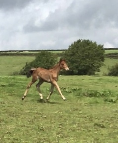 Partbred Connemara filly foal