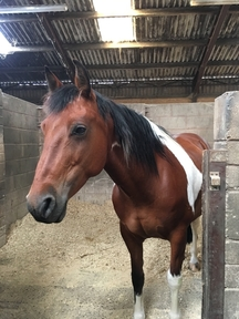 8 year old , 14,2 tri colour mare