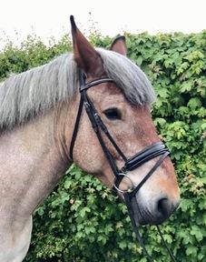 Family Horse - beautiful Belgian Draft mare