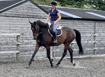 16.2hh kwpn 7yr old mare (not mareish at all!)