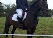 15.2hh Irish Sport Horse 7yr Old