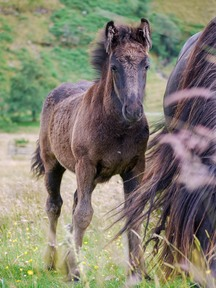 Two good Fell Pony colt foals available at weaning