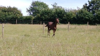 British riding pony filly