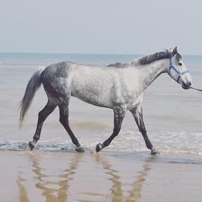 Companion Horse for Loan