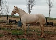 Gorgeous Perlino 3 year old