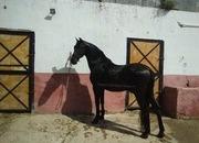 Black Beauty!! 16.1hh Gelding