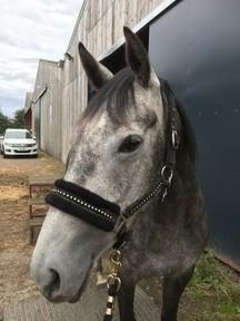 pretty dapple grey mare