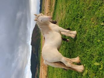 Stunning perlino filly
