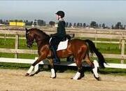 Stunning Pony advanced Dressage