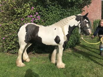 Stunning traditional heavy cob mare