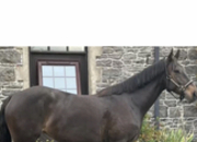 4yr old filly by Carrick Diamond