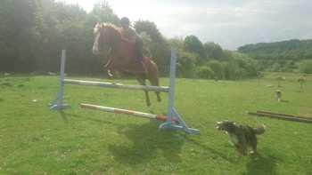 13.2hh Registered WPCS Welsh Section C Chestnut Mare.