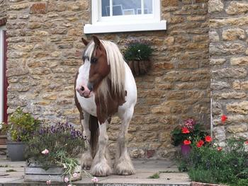 14hh Gentle Mare. Great Potential