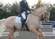 Stunning Dressage Palomino competing at advanced medium