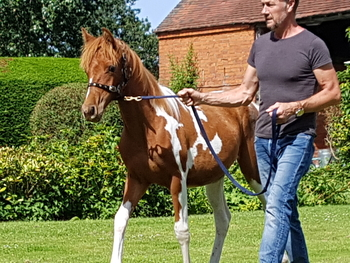 COLOURED FILLY TO MAKE 14.2/15HH