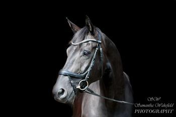 Beautiful black 16.2 7yr gelding by Deville