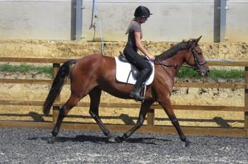 ITALIAN TROTTER/SUPER HACK/ENDURANCE HORSE