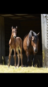 Thoroughbred filly Foal