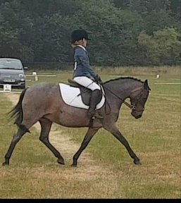 Harley 12hh  mare ,pony club,showing