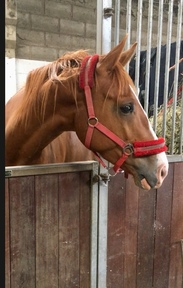 The wow factor, 17.2 Warmblood x IDSH homebred