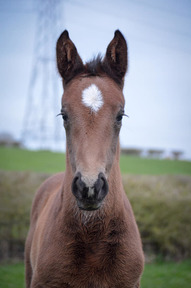 Show jumping Filly By Cobra. **Deposit received**