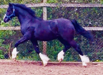 Welsh Section C Yearling Colt Show Ring Ready Excellent Bloodlines