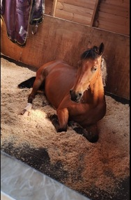 Talented jumping prospect for sale!