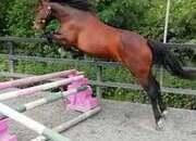 4yr old Lancelot mare