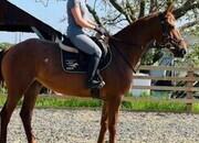 Classy 2013 Irish mare