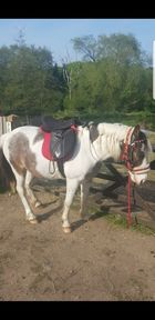 12hh ride and drive cob x trotter