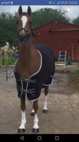 13.1 show pony
