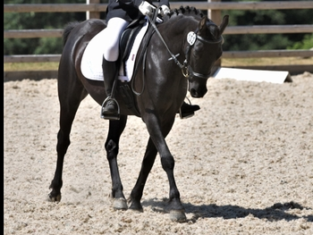 Beautiful talented safe 13.2 all rounder dressage superstar