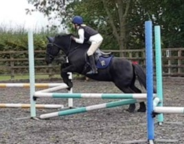Norman 13.1 Fell Gelding 18 years old