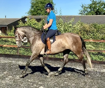 Say Hola to Mimosa, stunning 14.3 hh 5 Year old PRE Mare