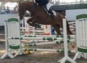 Lovely 16.2hh Gelding 10 year old Irish Sport Horse