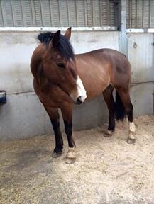 16hh Irish Sports Horse