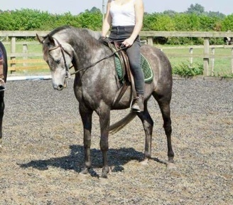14.2 hh 11 yo Mare Registered with British Warm-Blood Society - Breeding/Showing/Pony Racing Prospect